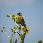 Dickcissel, Spiza americana at Neal Smith Wildlife Refuge
