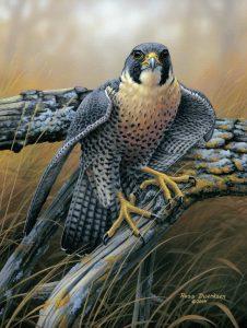 Friends-Neal-Smith-Birds of Prey Peregrine Falcon-opt
