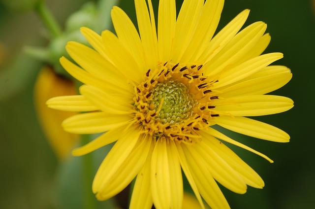 Friends of Neal Smith National Wildlife Refuge   Flower