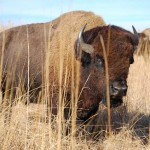 Bison at Neal Smith National Wildlife Refuge