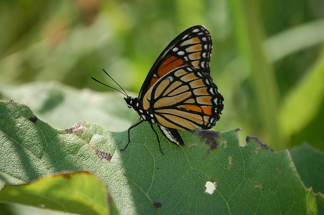 Butterfly at Neal Smith National Wildlife Refuge