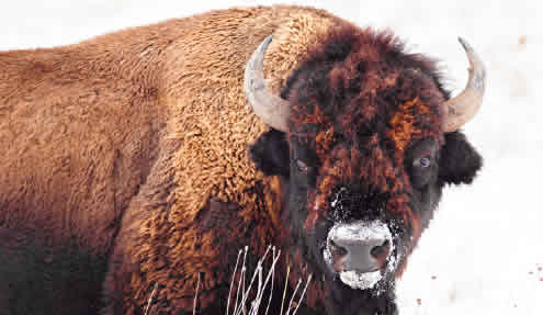 Bison Day at Neal Smith National Wildlife Refuge