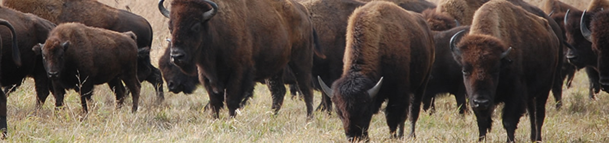 Friends of Neal Smith | Slide of bison
